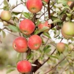 Rumor has it Washington's apple crop will break 2012 record