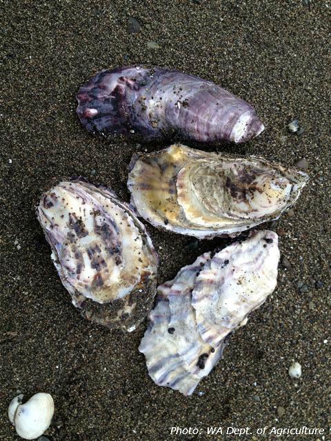 shellfish, shells, oysters